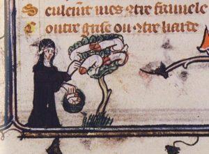 Et eksempel på, hvor sprællevende middelalderen (også) kunne være - en kvinde indsamler frugter fra et botanisk set ret interessant træ. Den slags narrestreger var man ikke sluppet godt fra efter 1536...